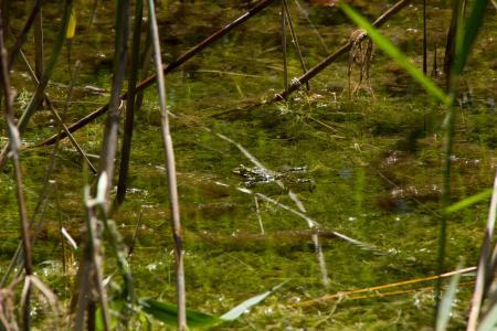 Frogs in the Allacher Lohe